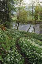The path among wild garlic